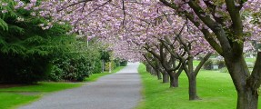 cherry_tree_path_purple_flowers